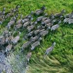 Zebras, as seen an Apple Macbook pro