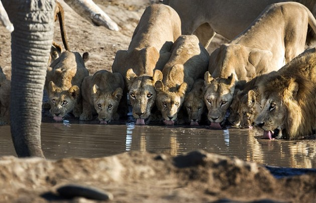 Lions asnd at the water